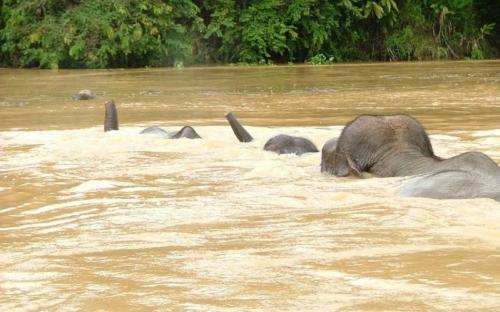 Bornean Elephants swimming across the Kinabatangan River © HUTAN