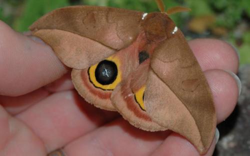 Moth © Chris Morris