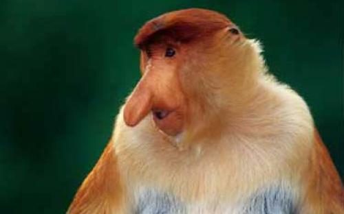 Proboscis monkey © LEAP Spiral