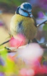 A Blue Tit photographed by Chris Packham.