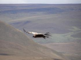 Juvenile Andean Condor in flight over Antisanilla.