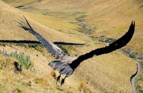 Andean Condor Felipe released.