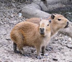 Baby capybara at Chessington World of Adventures .