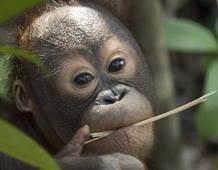Baby Orang-utan in the wild. © Chris Perrett / naturesart.co.uk.