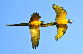 Two Blue-throated Macaws.