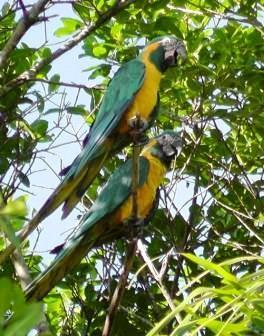 Blue-throated Macaw.