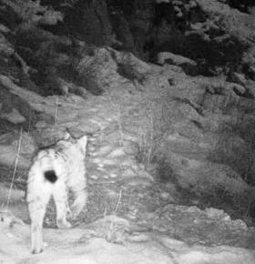 Caucasian Lynx on a mountain trail.