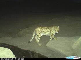 Camera-trap image of an Asiatic Cheetah at night in Miandasht Wildlife Refuge.