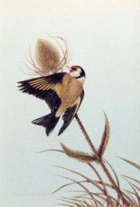Goldfinch feeding on a teasel head (print).