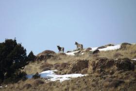 Grey Wolves in Caucasus Mountains, Armenia. © FPWC.