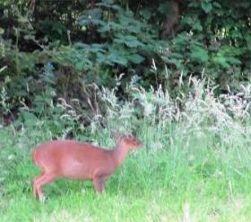 A Muntjac Deer in Kelly's garden.