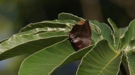 Polyxo Leafwing on the green leaf of a Cecropia tree.