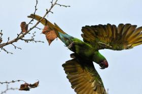 A Military Macaw in flight.