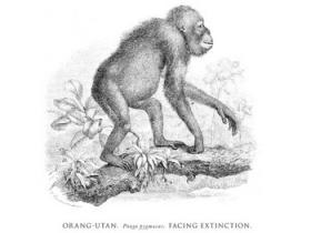 Line drawing of an Orang-utan.