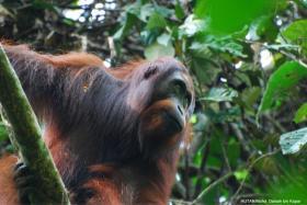 Adult male Orang-utan in Kinabatangan.