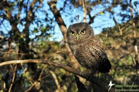 Whiskered Screech Owl on a branch.