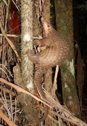 Sunda Pangolin in Borneo