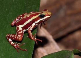 Phantasmal Poison Frog, dark red with white stripes.