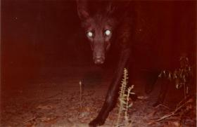 Trail camera image of a black Maned Wolf in the dark.