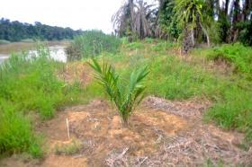 An oil palm sapling planted close to the river's edge