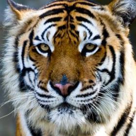 Tiger portrait. © konmesa.