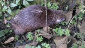 Stump-tailed Porcupine in the undergrowth.