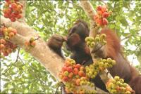 A male flanged Orang-utan feeds in a fruit tree. © Hutan / KOCP.