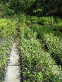 Seedlings growing in Jorupe's nurseries © Neil Williams WLT