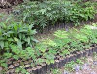 Buenaventura Tree Nursery